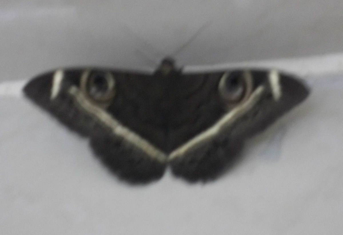Nature: symetrical balance in a moth