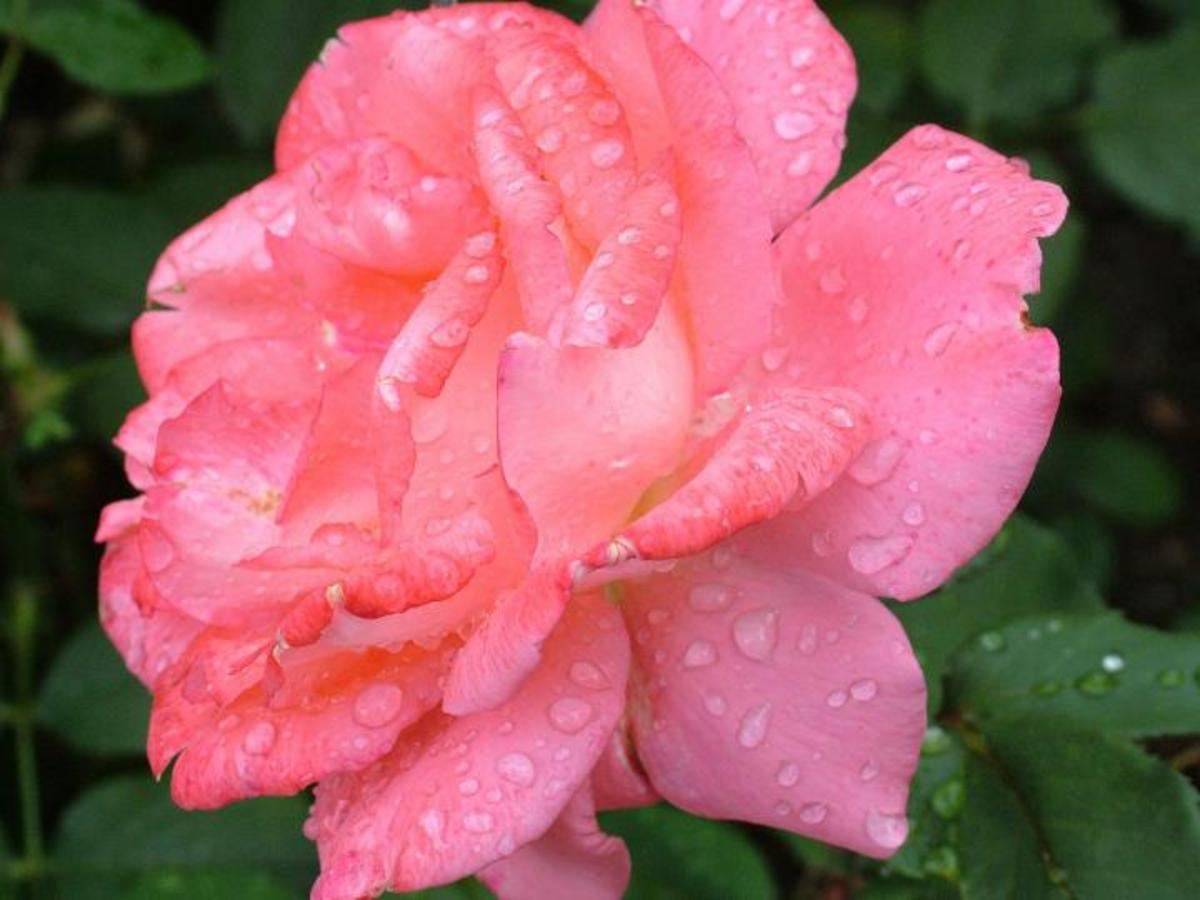 The rose of one of the flowers of June.