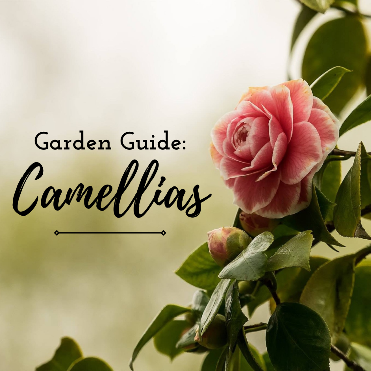 Learn how to grow the beautiful, fall- and winter-blooming camellia in your garden.