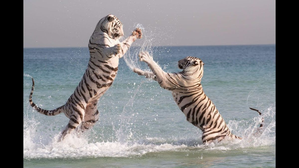 fascinating-dubai-tigers-frolicking-on-the-beach
