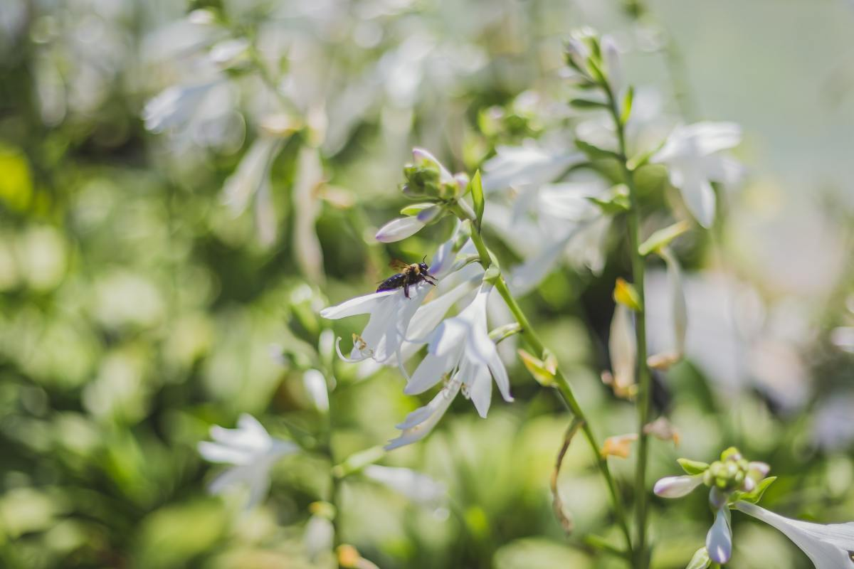 Hosta flowers are beloved by gardeners and bees alike.