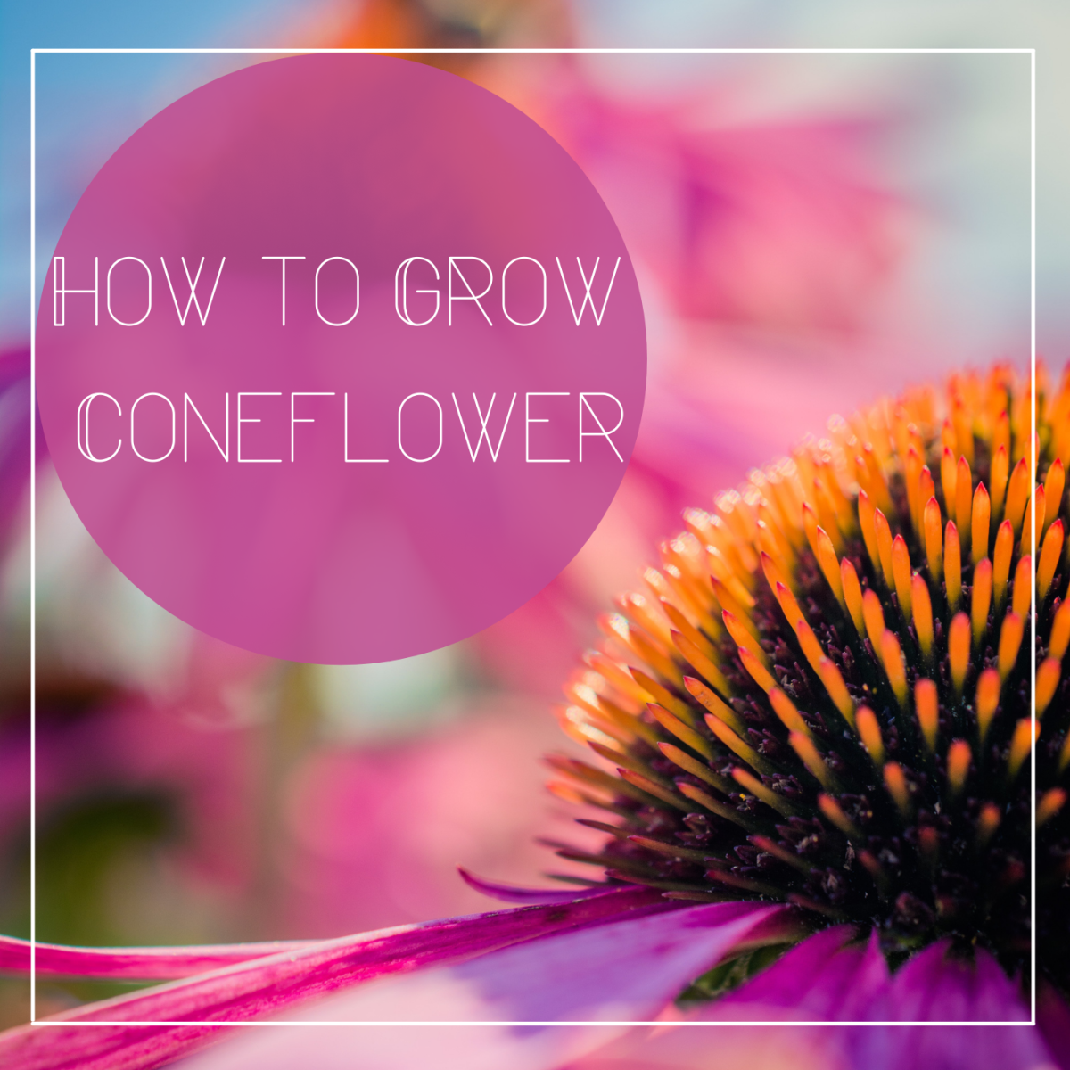 Learn how to grow coneflowers to add a pop of color to your garden.