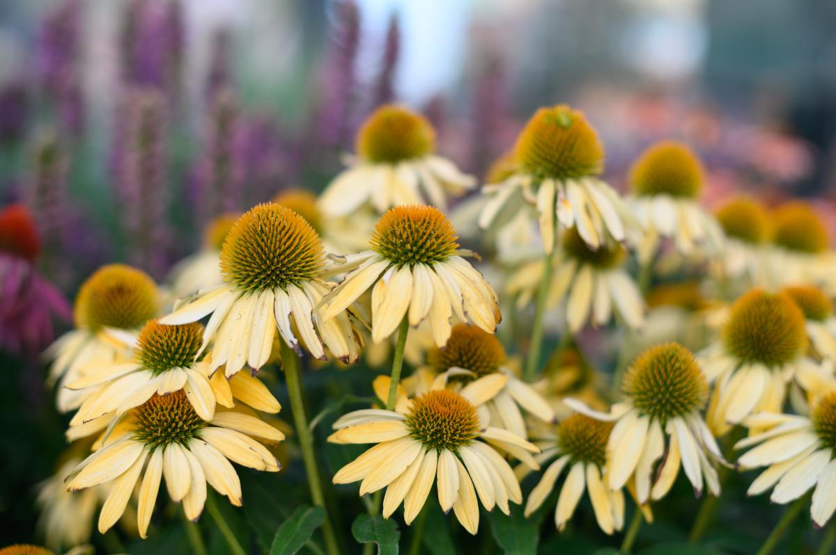Coneflowers come in more colors than the classic purple, such as this dazzling yellow variety.