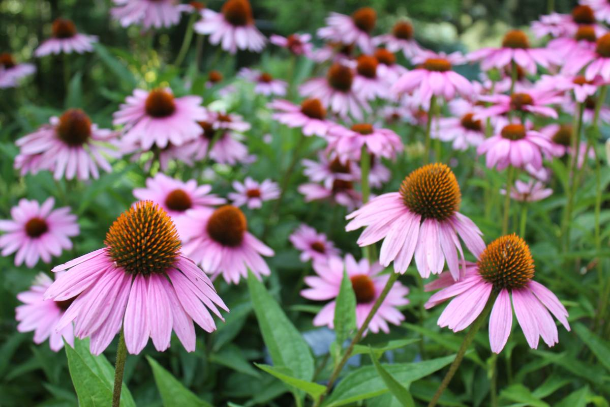 Coneflowers are an elegant addition to any garden.