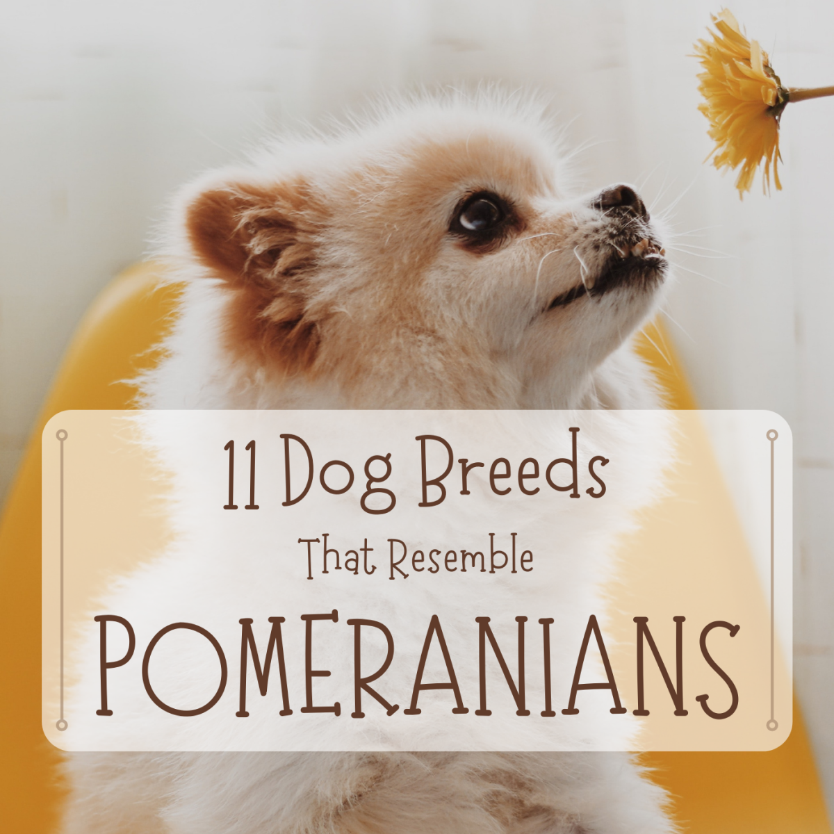 Do you want a dog that looks like a Pomeranian but is larger, smaller, hardier or otherwise a bit different? Consider these 11 breeds with similar appearances.