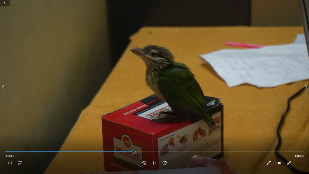 barbet-rescue-hand-rearing-a-fallen-chick