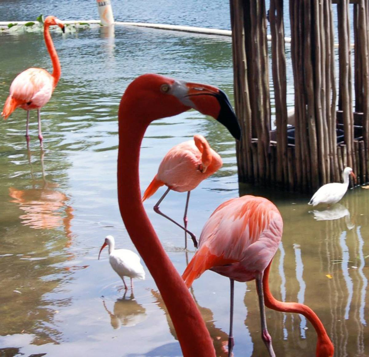 Pink Flamingos at the zoo--photo by AMB