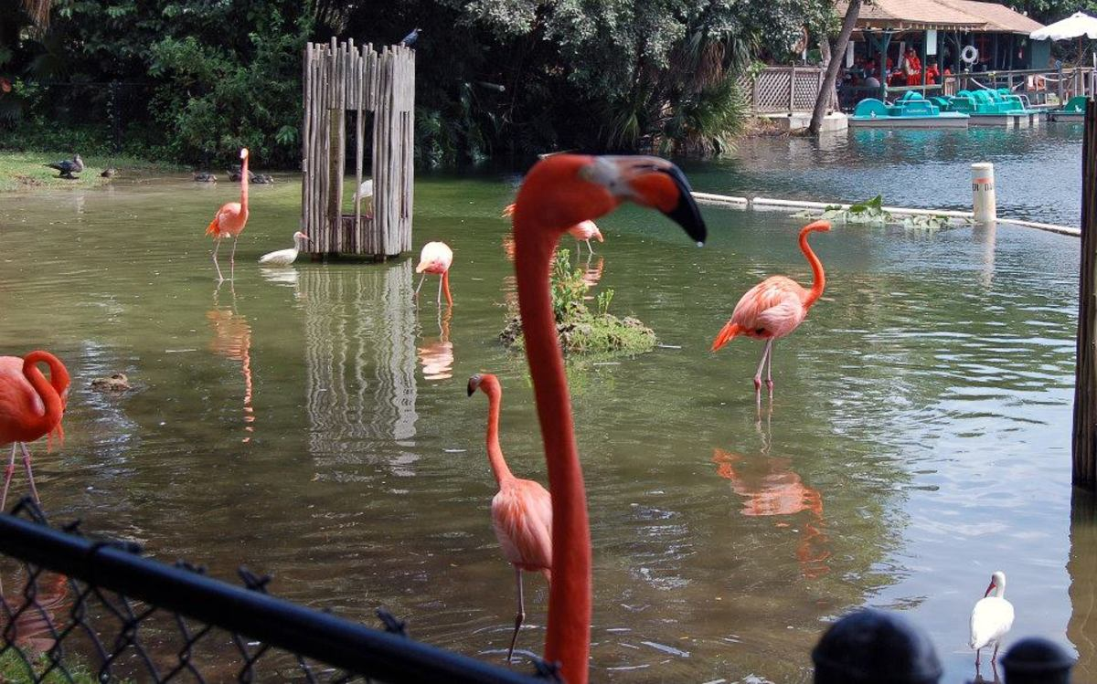 Flamingo at the zoo--photo by AMB