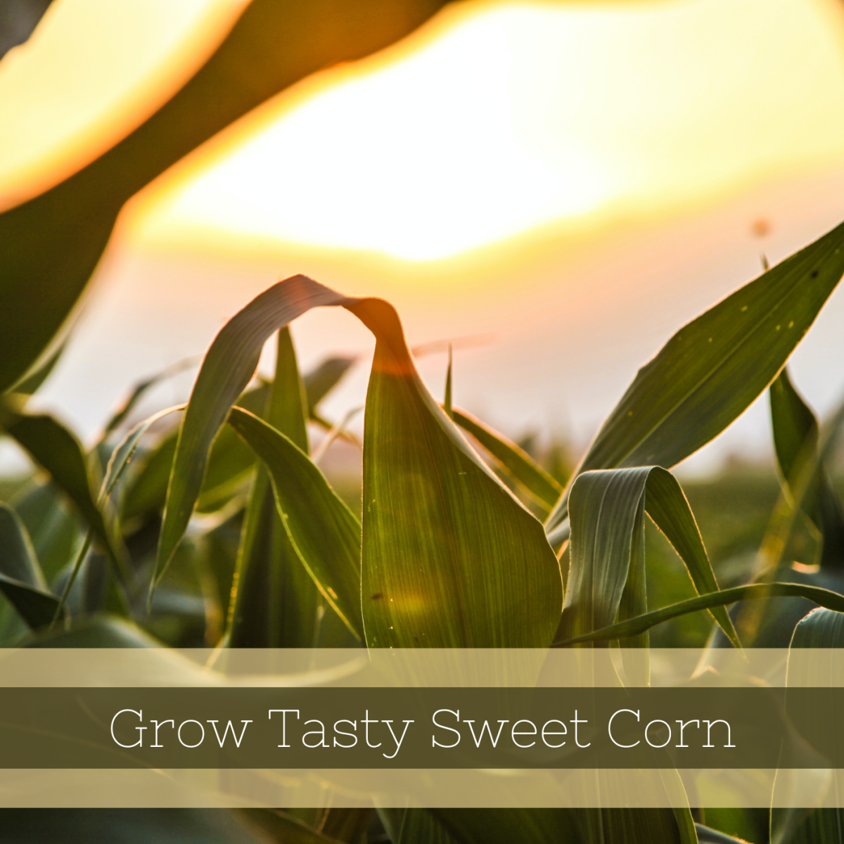Learn how to grow tasty sweet corn