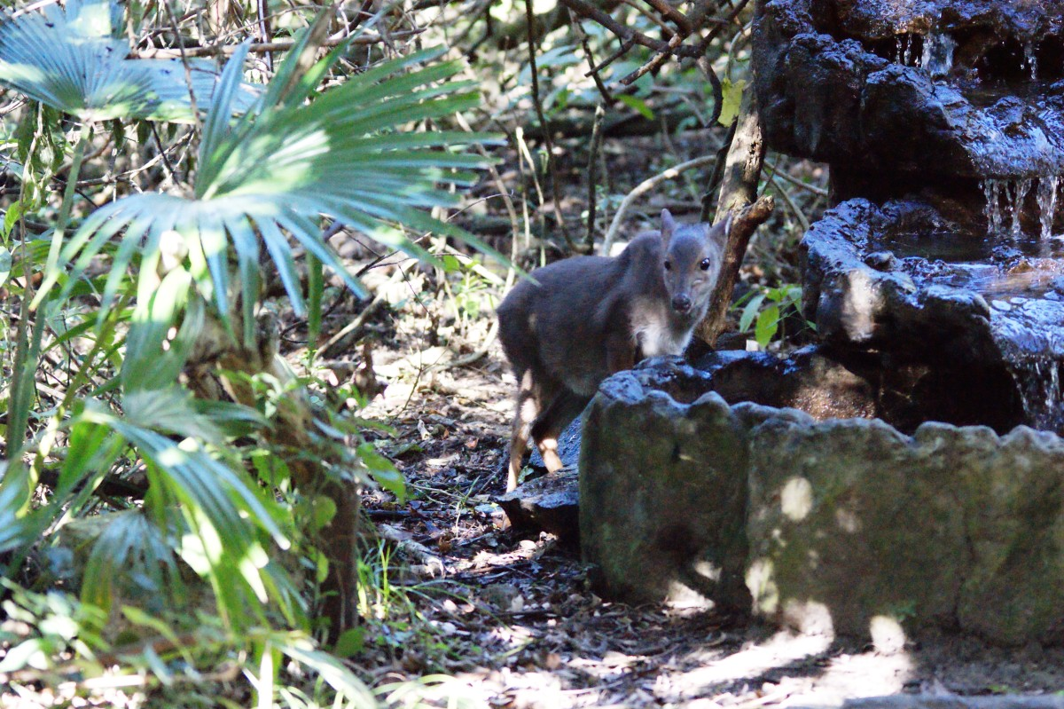 Blue Duiker coming for a drink