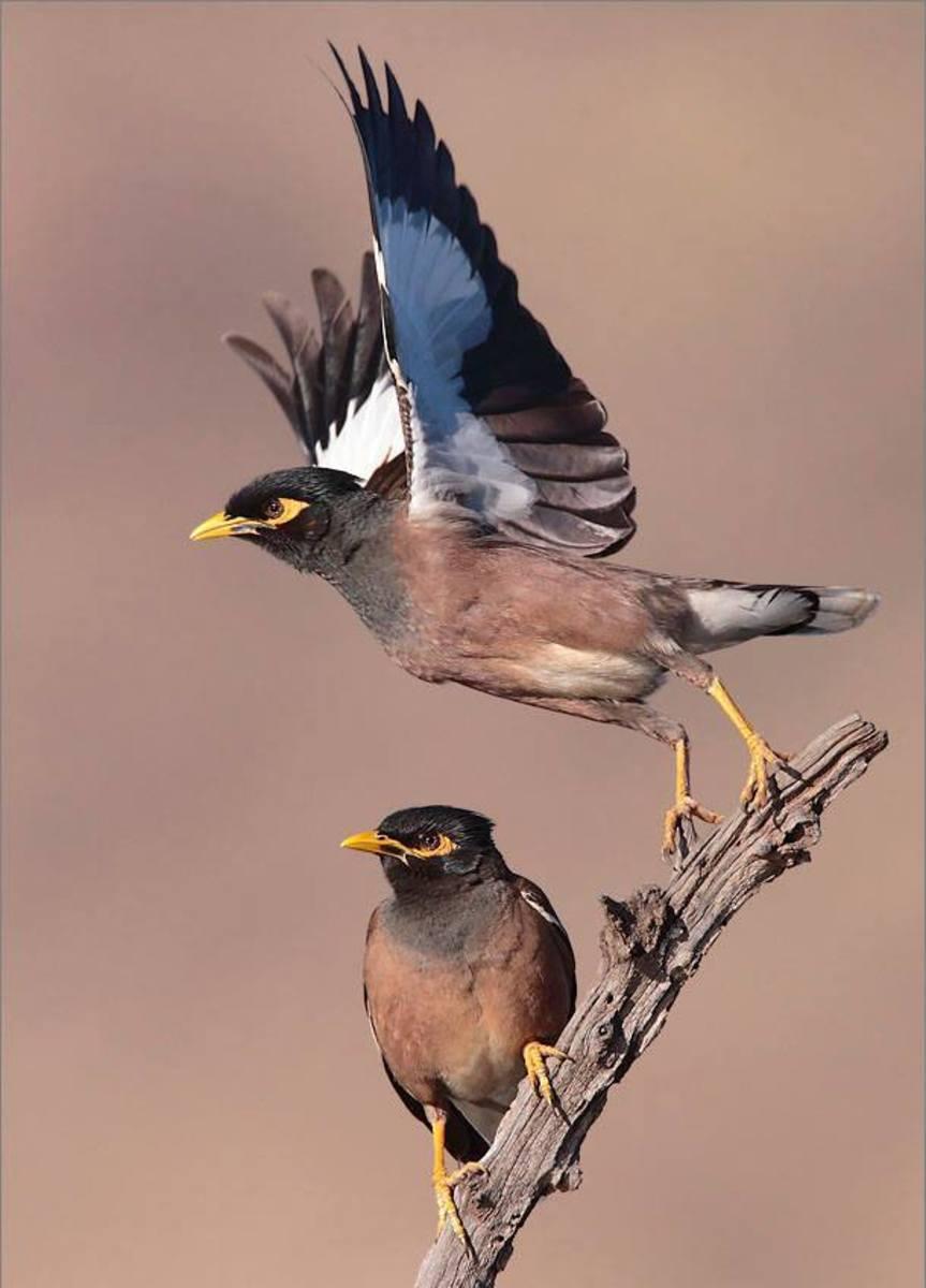 Common Mynah birds