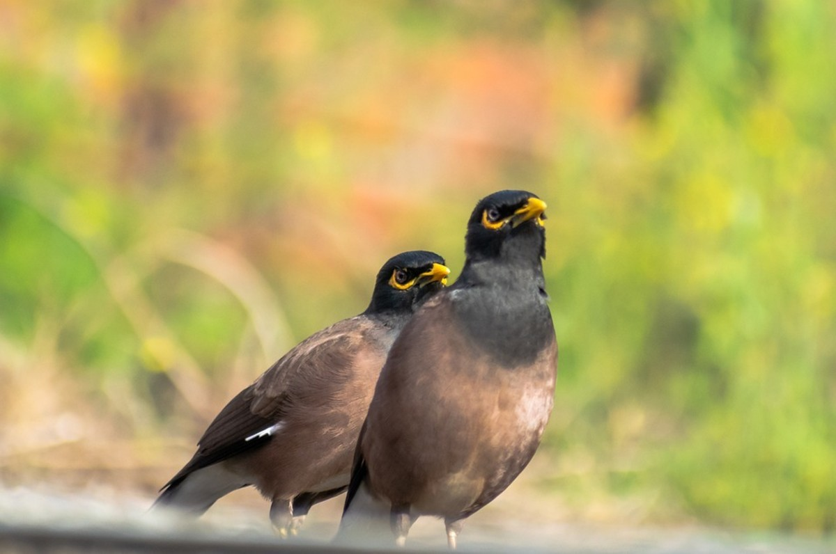 A pair of Mynah birds next to each other