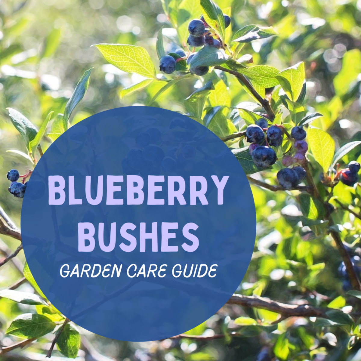 Learn how to plant and care for some backyard blueberries, whether they're in the ground or in a pot.