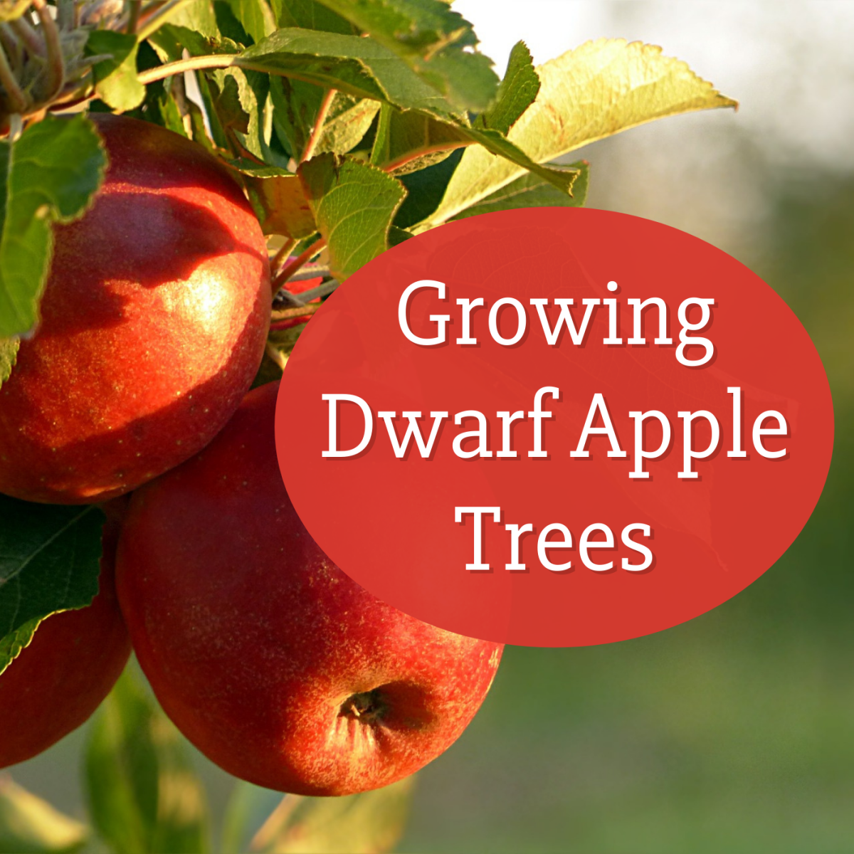 Are you considering a dwarf apple tree for your yard? Get advice on planting, pruning, dealing with pests, harvesting, and more.