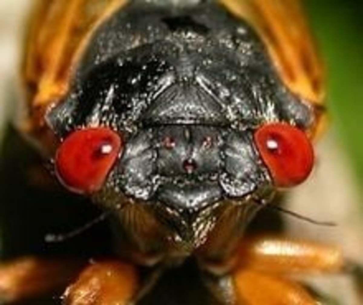 Cicada by Martin Hauser
