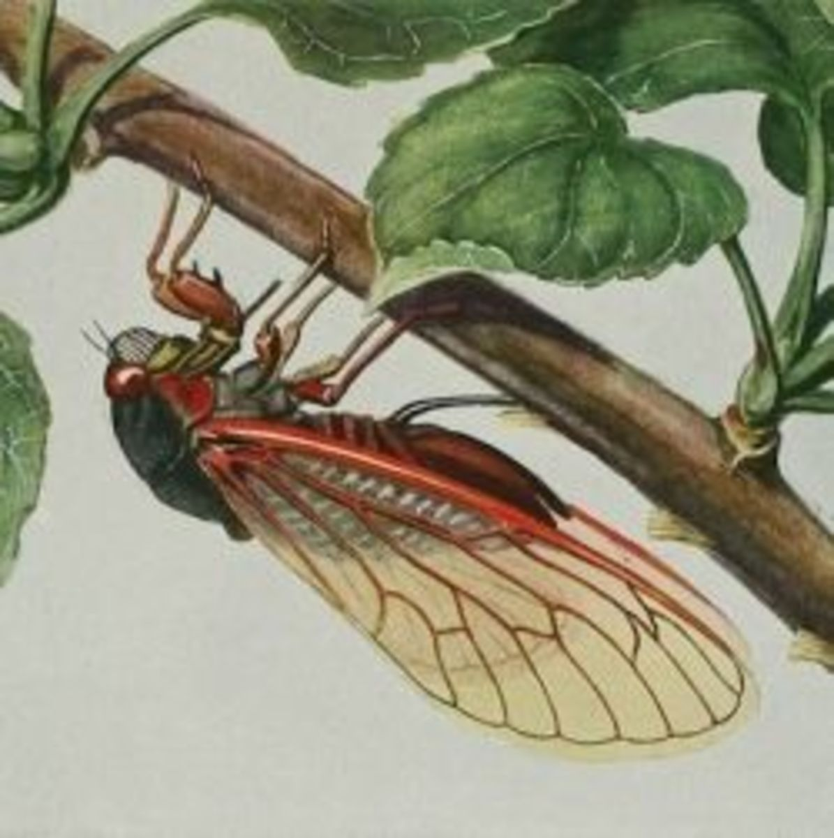 Cicada Facts, Fun, and Photos