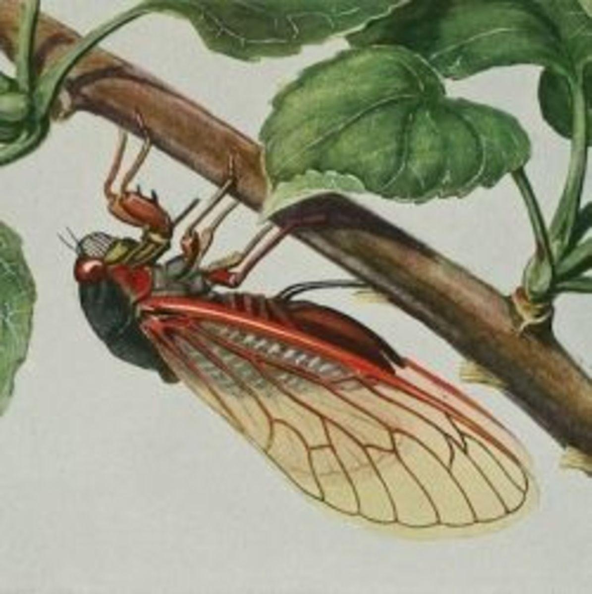 cicada-bug