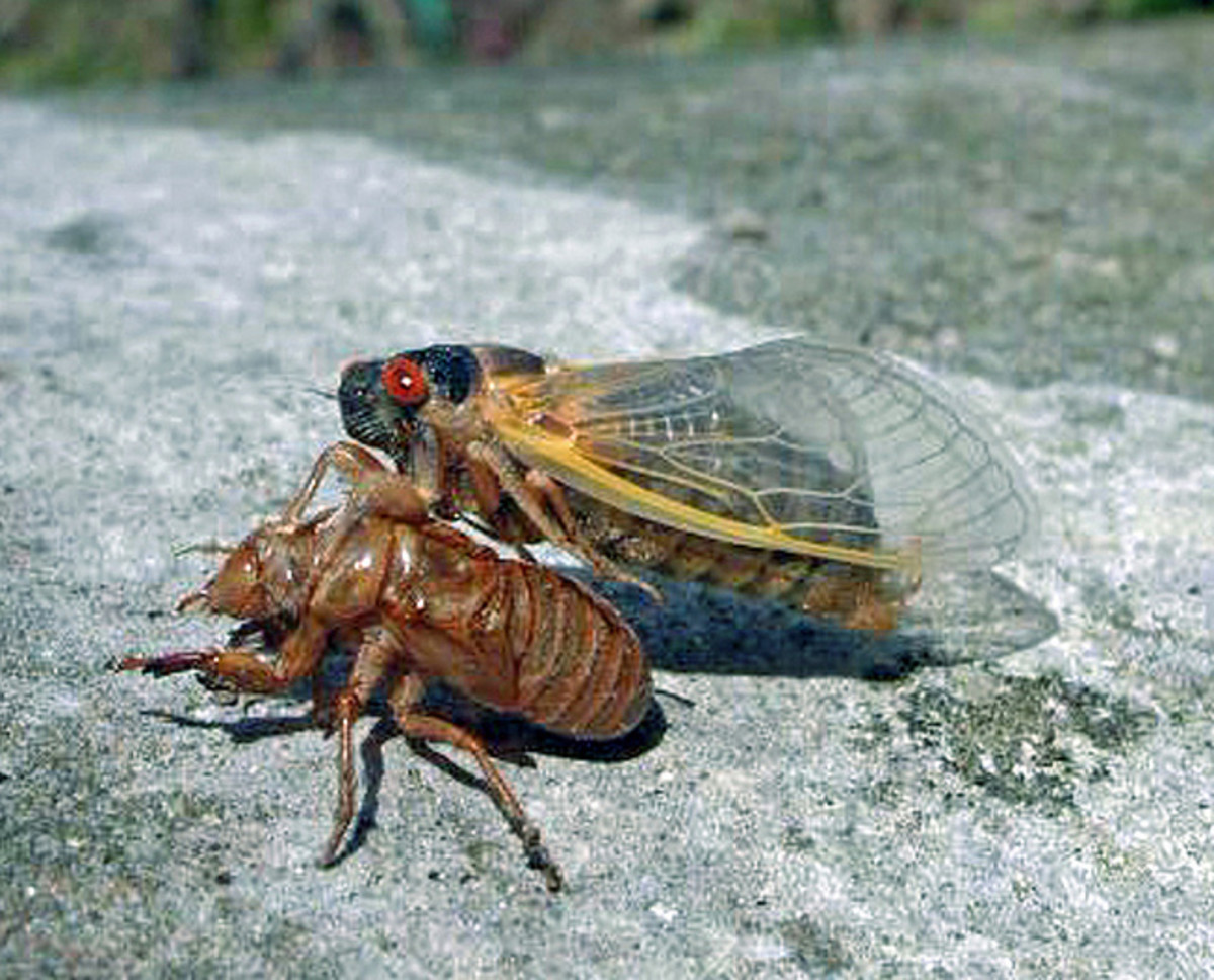 Off with the old! After shedding its skin, this cicada will begin to look for a sweetheart dressed in its new finery.  The love songs begin...