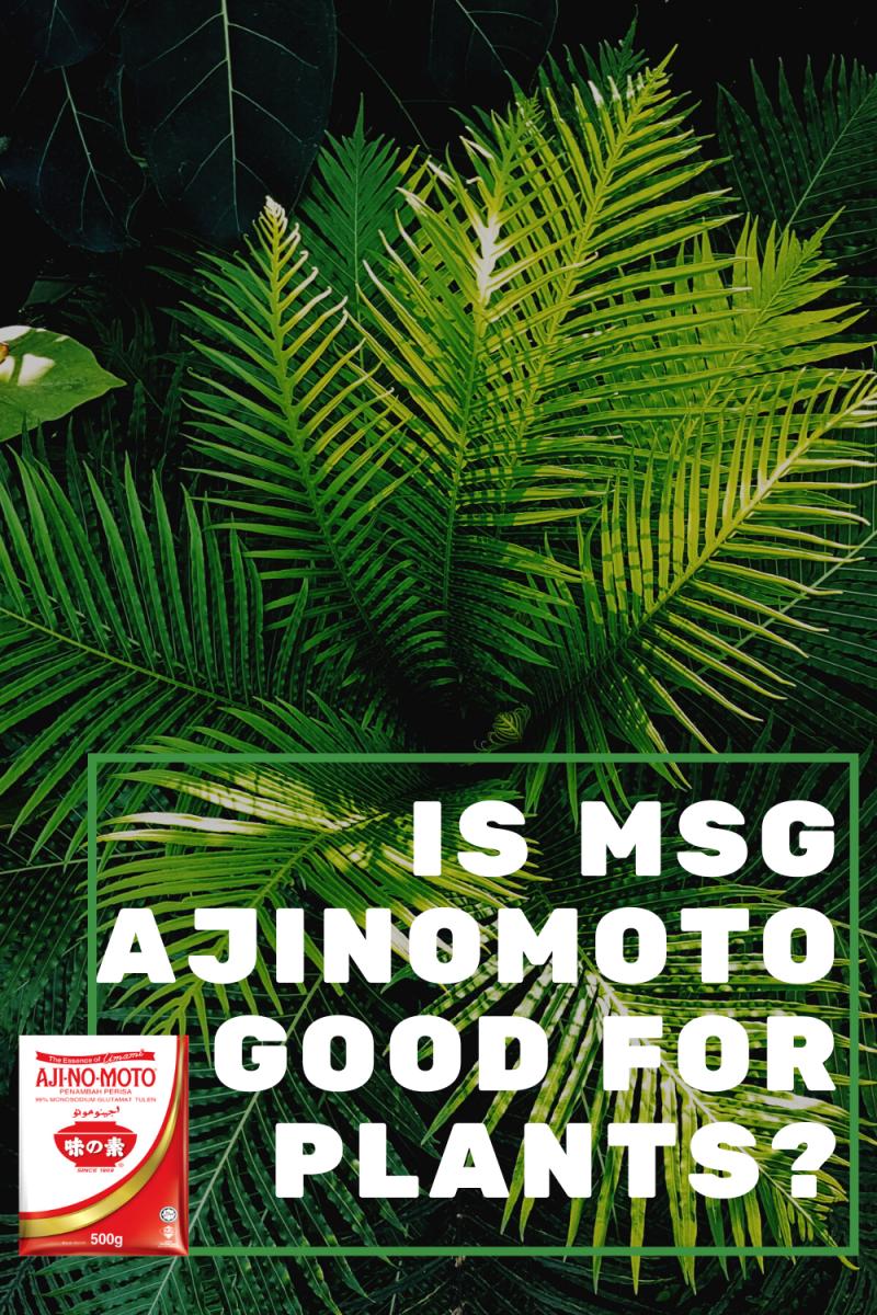 Is MSG Ajinomoto Good for Plants?