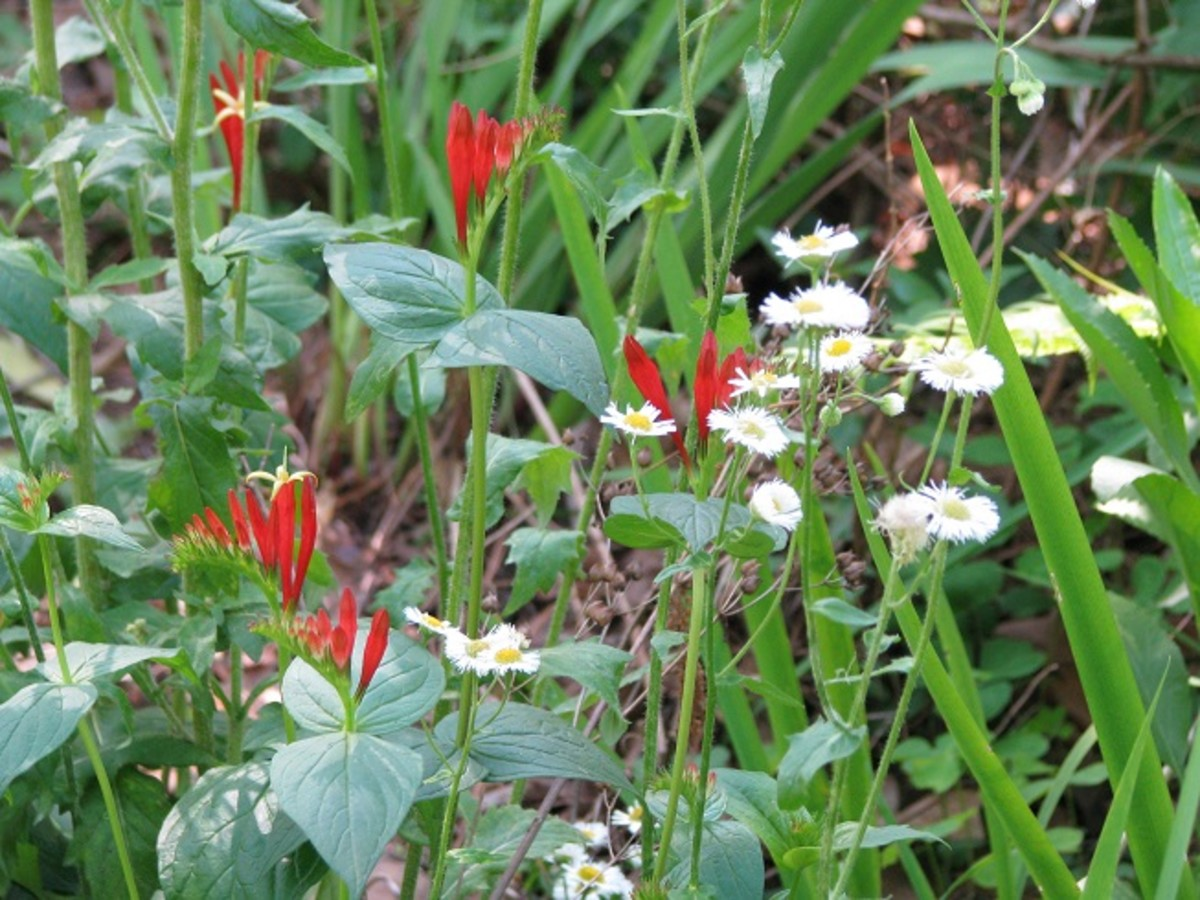 Two native wildflowers, Indian Pink and daisy fleabane.
