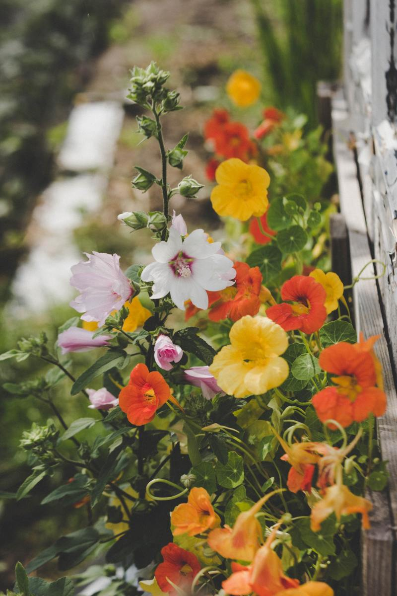 Nasturtiums are a cheerful choice for trelisses. (What's more, you can eat them!)