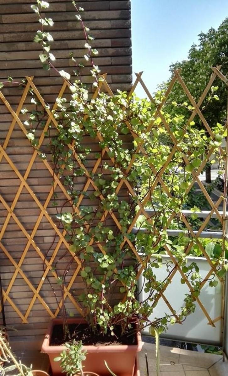 Cape ivy (climbing groundsel) climbing a flex trellis in Italy.