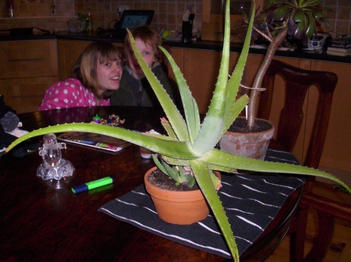 Elongated Aloe vera grown with too little light.