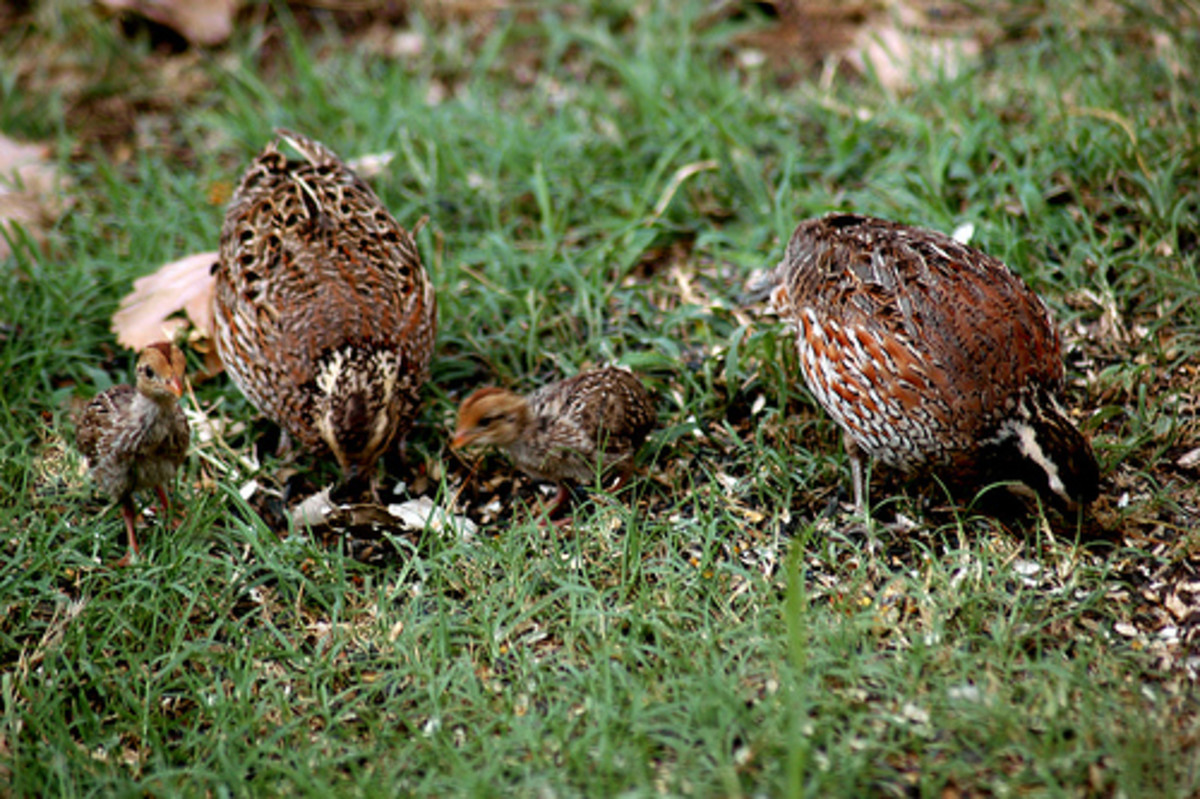 Bobwhites with chicks