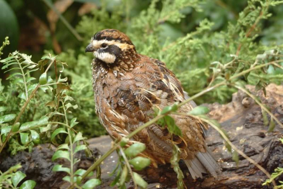 Bobwhite!  Member of the Quail Family and a Fond Memory From My Childhood