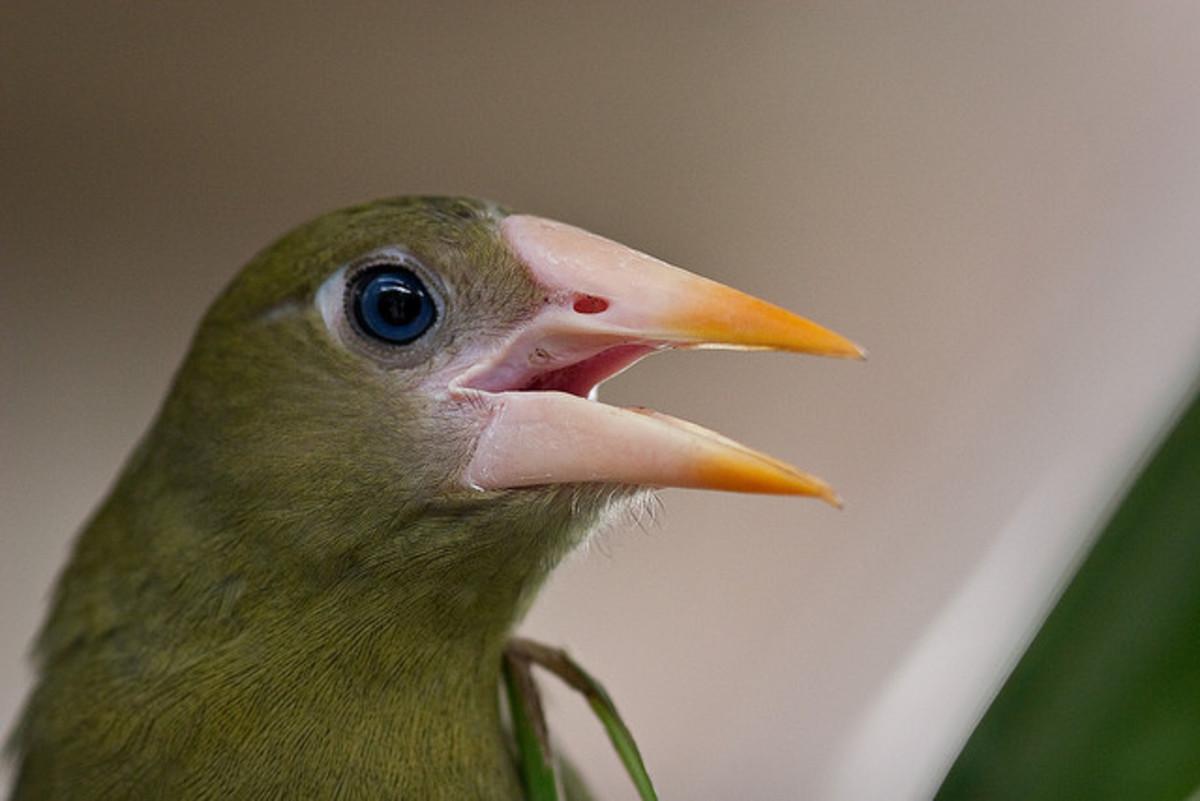 Green Oropendola