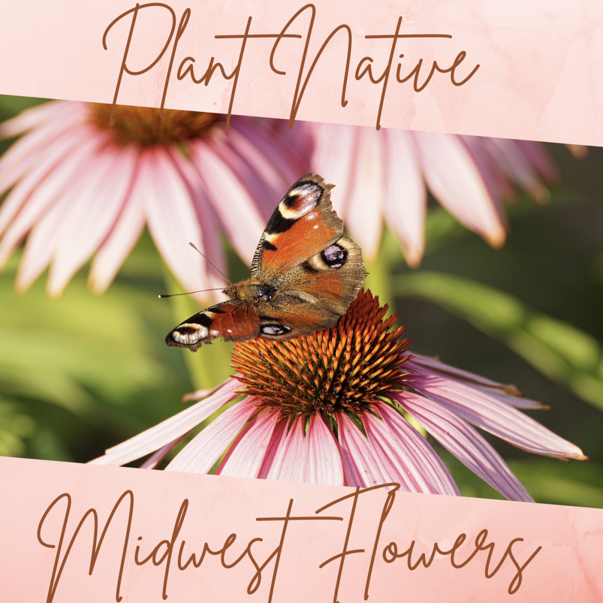 Plant native midwest flowers, like echinacea, to revive the environment and restore native ecosystems.