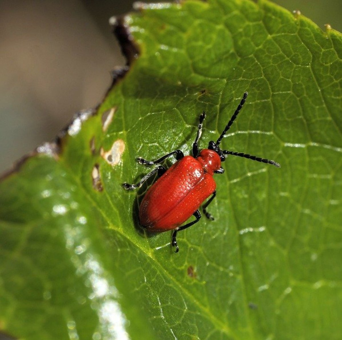 The Lily Beetle