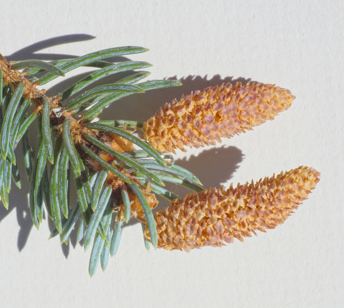 Blue Spruce Pollen Cones (male) Late Spring - Early Summer