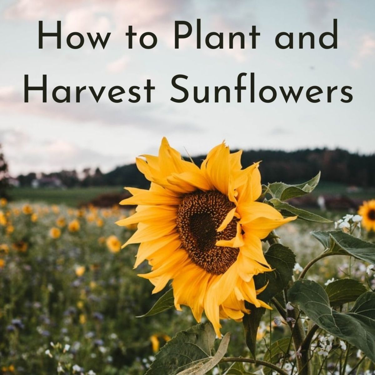 Sunflowers love the sun and will track the sun's path across the sky throughout the day.