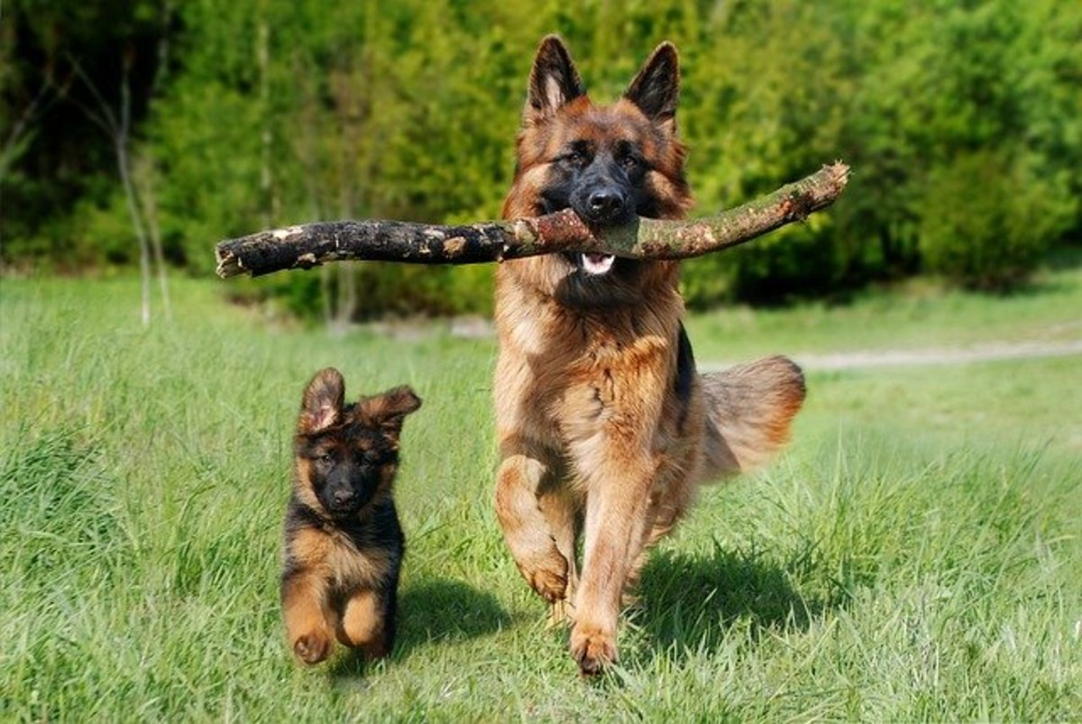 Dog with stick and puppy