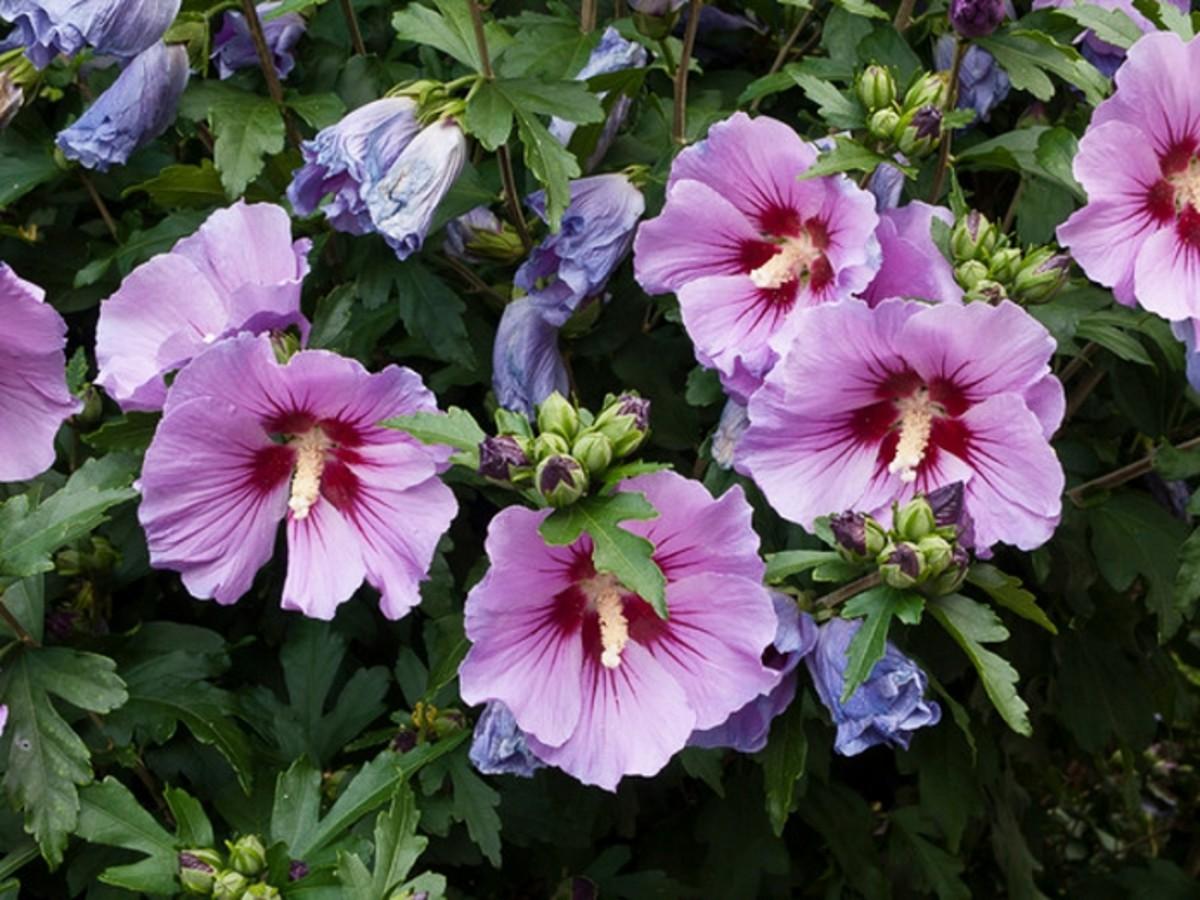 Hibiscus syriacus- Rose of Sharon