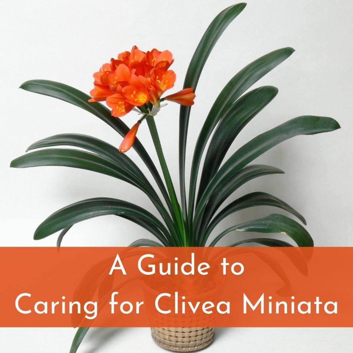 clivea-miniata-an-easy-care-flowering-houseplant