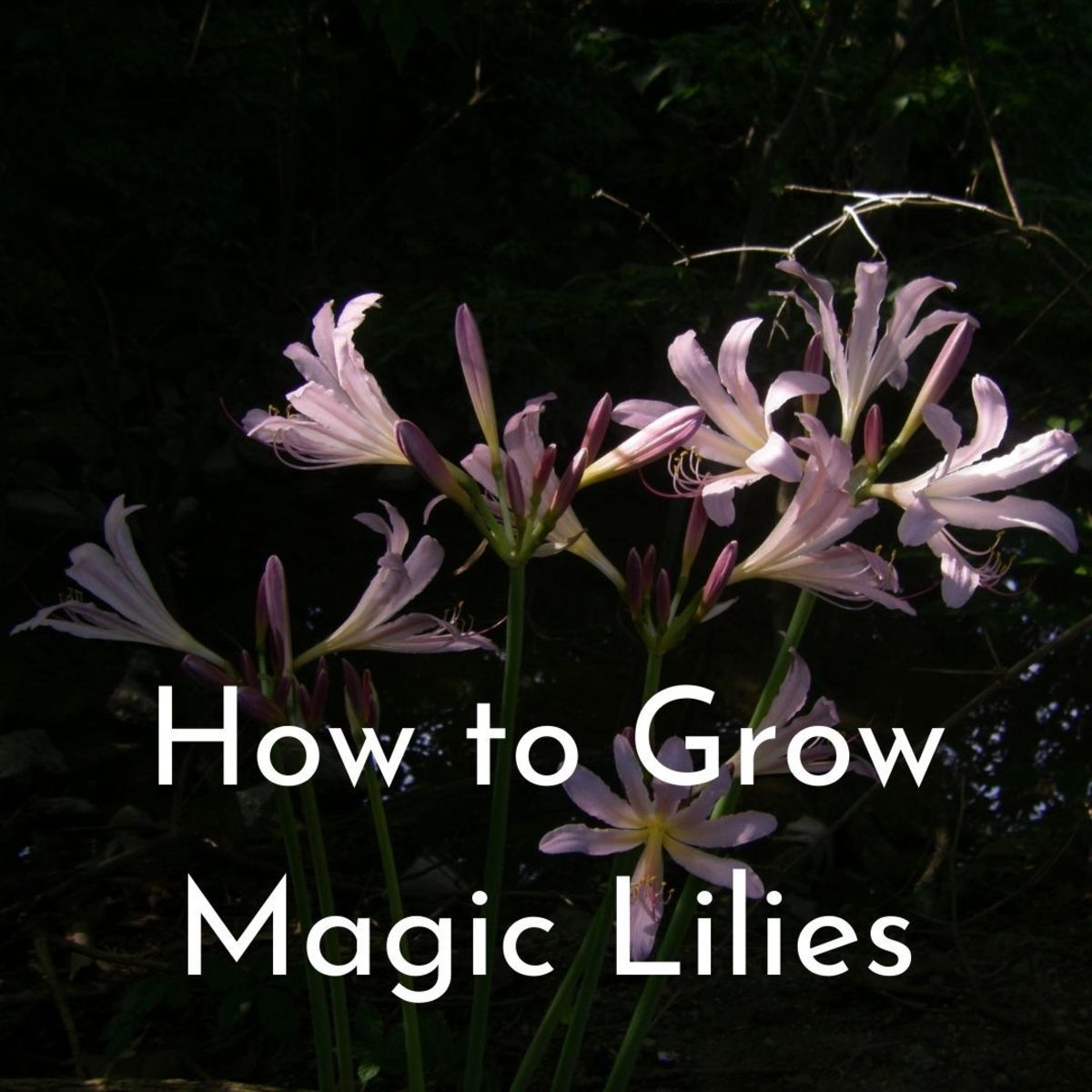 Magic lilies (Lycoris squamigera) growing deep in the woods along creeks in Indianapolis.
