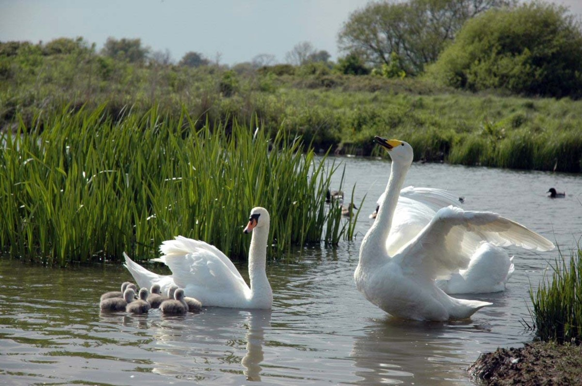 Freedom (Hooper swan/yellow beak) with Mistral and her cygnets.