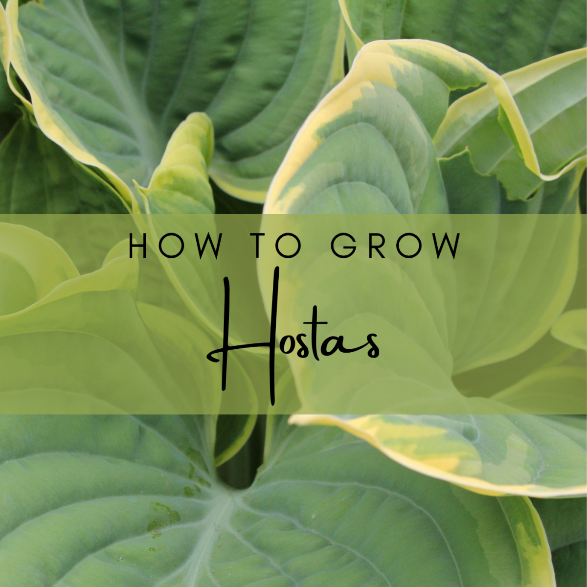 Learn how to plant and grow hostas, along with tips for pest and disease prevention.