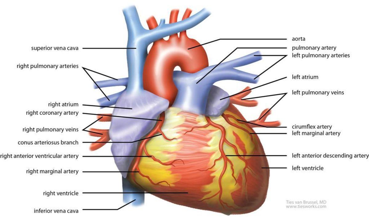 Biological breakdown of the Heart muscle