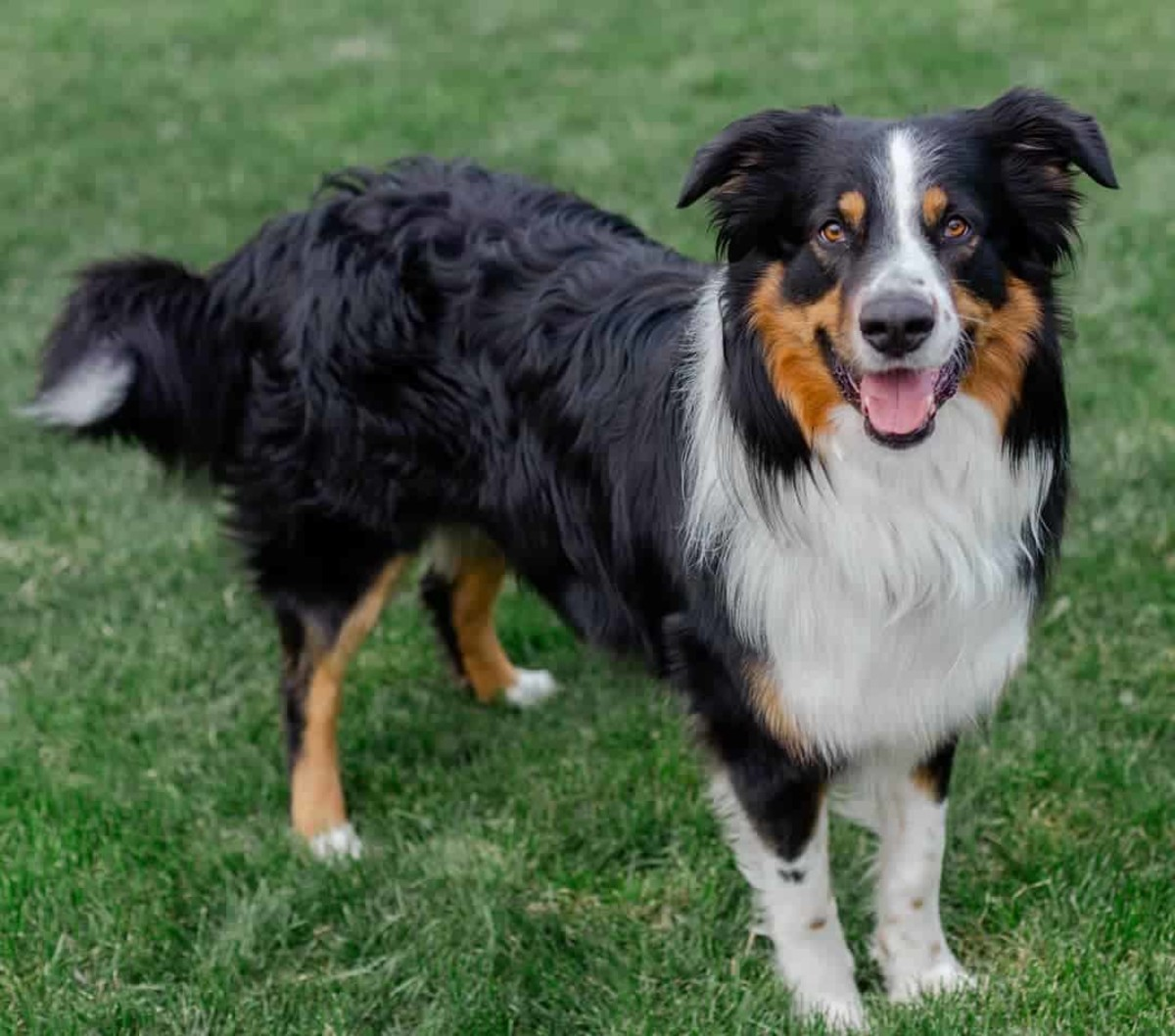 The English Shepherd is a herding dog who loves to work. Their instinct tells them to chase and try to herd everyone they come across.