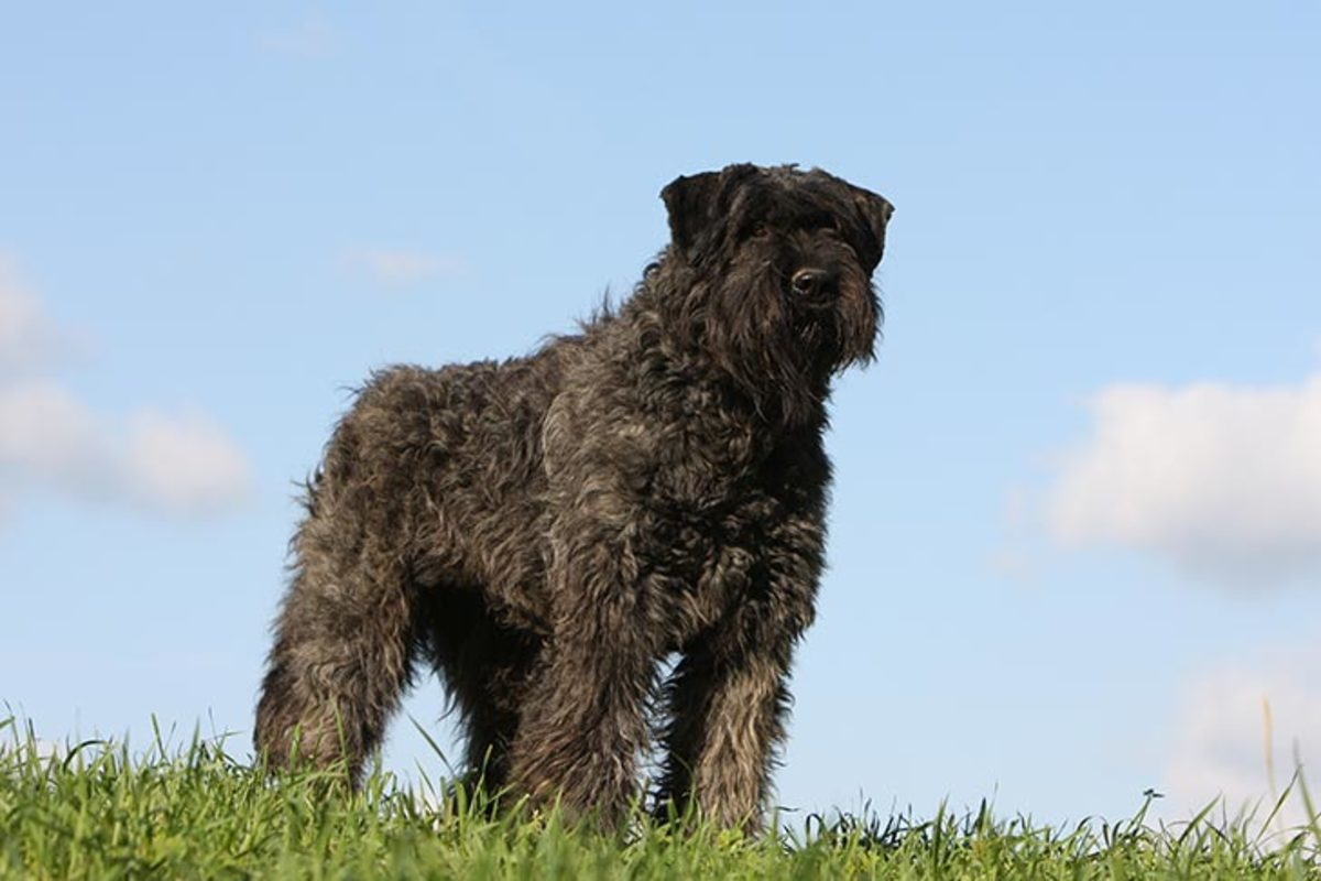 Bouviers are excellent watchdogs and guardians in dog sports, especially herding trials.