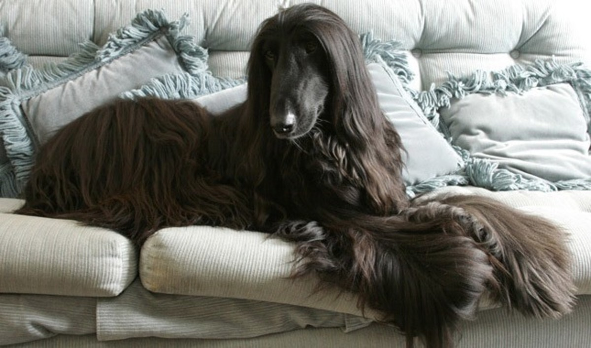 The aristocratic Afghan Hound is a  cool elegance.  He lives to run, but once he's had his daily exercise in a safely fenced area.