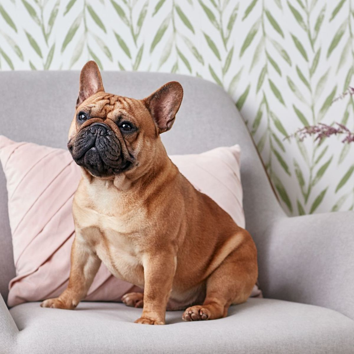 The French bulldog, or Frenchie, is a sturdy, compact dog breed with a large head, short snout, and bat-like ears. This breed is lively, lovable, and playful.