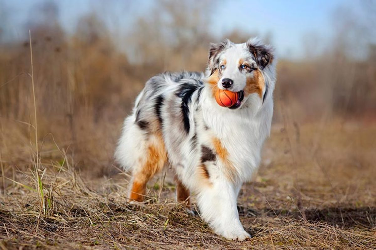 The Australian Shepherd, a lean, tough ranch dog, is one of those only in America stories: a European breed perfected in California by way of Australia.