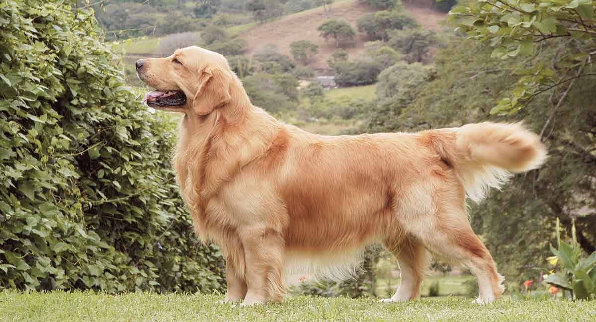 The Golden Retriever is a very popular dog. A combination of beauty and a kind temperament has made the Golden Retriever one of the favorite for many years.
