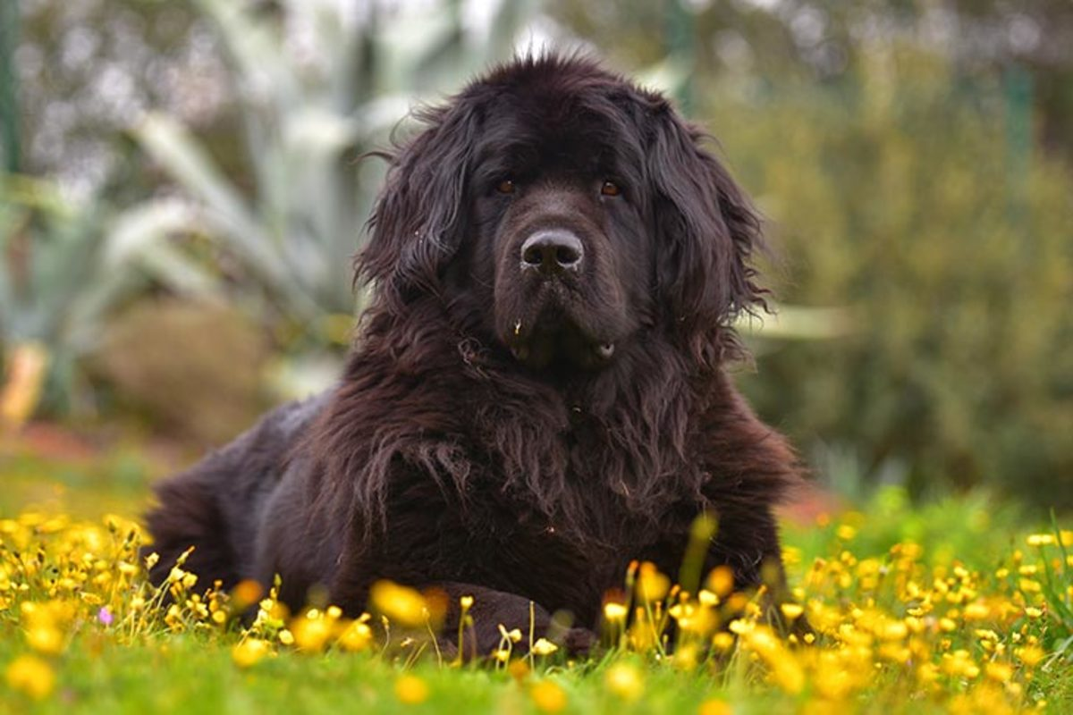 The massive Newfoundland is a strikingly large, powerful working dog of heavy bone and dignified bearing.
