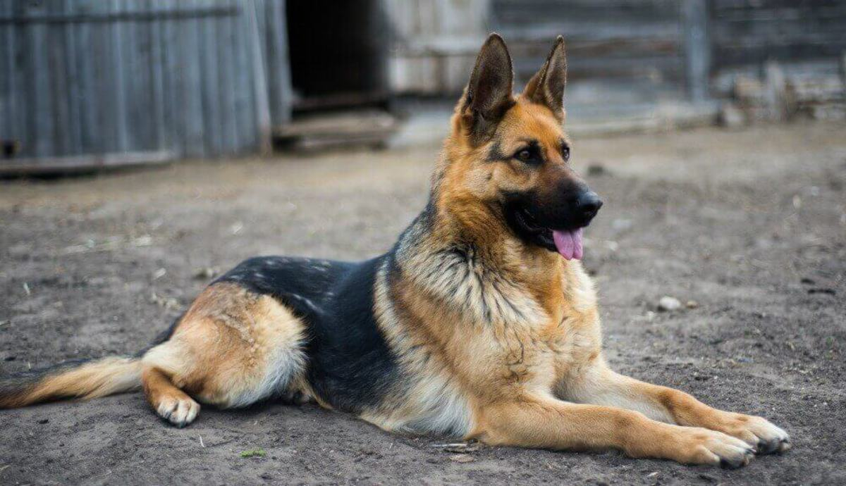 The German Shepherd have a rather distinct personality marked by a direct and expression, obvious self-confidence to develop friendships.