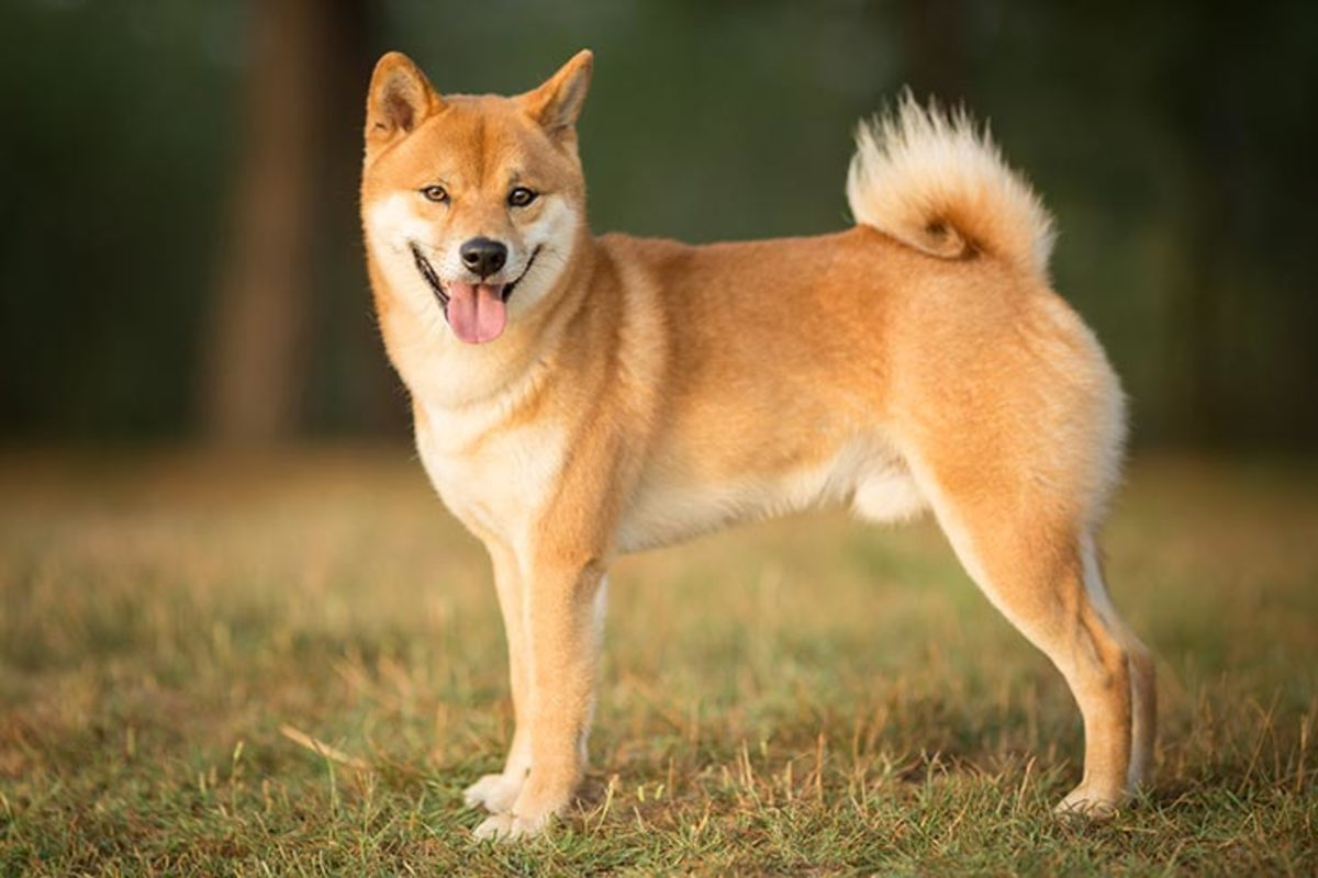 An ancient Japanese breed, the Shiba Inu is a little but well-muscled dog once employed as a hunter. Today, the spirited, good-natured Shiba is the most popular companion dog in Japan.